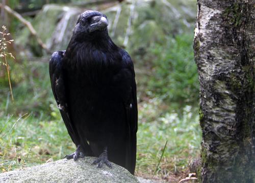 Corvus corax Foto: Lupina